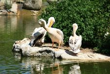 Free Pelicans Stock Photo - 20434880