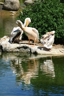 Free Pelicans Royalty Free Stock Photos - 20434918