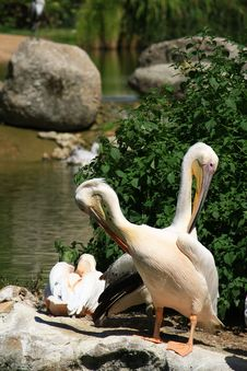 Free Pelicans Stock Photo - 20434960
