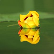 Free Bullhead Lily And Reflection Stock Image - 20434991