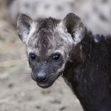 Free Spotted Hyena Cub Stock Image - 20435361