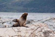 Free South American Sea Lion Royalty Free Stock Image - 20437286