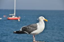 Free Seagull Royalty Free Stock Photo - 20437505