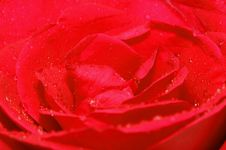 Free Red Rose Royalty Free Stock Photography - 20437937