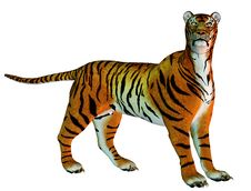 Free Big Cat Tiger Standing Stock Images - 20438984