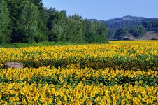 Free Sunflowers Stock Photos - 20439073