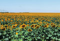 Free Field Of Sunflowers Royalty Free Stock Image - 20443416