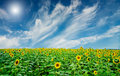 Free Sunflowers Field By Summertime. Royalty Free Stock Image - 20443656