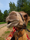 Free The Head Of A Young Camel Royalty Free Stock Photo - 20445575