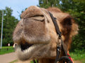 Free The Head Of A Young Camel Royalty Free Stock Images - 20445589