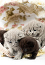 Free Five British Kittens In A Wicker Basket Royalty Free Stock Photography - 20445917