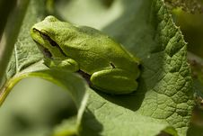 Free Frog Royalty Free Stock Image - 20441326