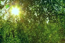 Sun Through A Green Leaves Royalty Free Stock Photo