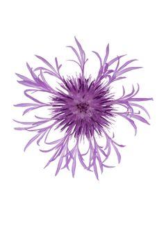 Free Cornflower Stock Image - 20441581