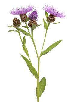 Free Cornflower Stock Image - 20441601