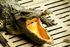 Free Crocodile Royalty Free Stock Image - 20441656