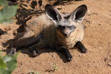 Free Bat-eared Fox Stock Photos - 20442183