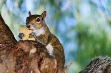 Free Grey Squirrel Closeup Stock Images - 20442474