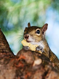 Free Grey Squirrel Closeup Royalty Free Stock Image - 20442476