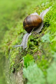 Snail In The Nature Royalty Free Stock Image