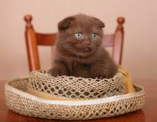Free Scottish Kitten On A Table Stock Images - 20442824