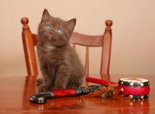 Scottish Kitten On A Table Royalty Free Stock Photo