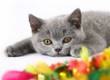 Free British Kittens With Toy Stock Photo - 20442960