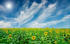 Sunflowers Field By Summertime. Royalty Free Stock Image