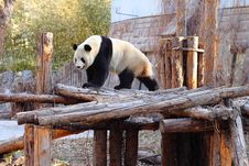 Free Giant Panda Royalty Free Stock Image - 20443826