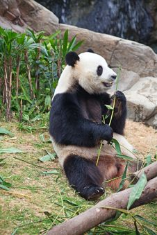 Free Panda Bear Royalty Free Stock Photo - 20444405