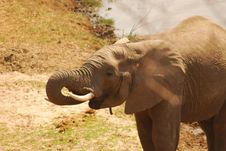 Free A Thirsty Elephant In Tarangire NP, Tanzania Stock Photo - 20445120