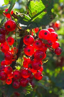 It Is A Branch Of A Bush Of A Currant Stock Image