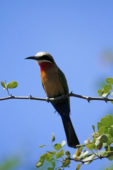 White-Fronted Bee-Eater II Stock Images