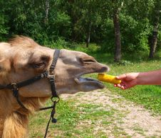 Free The Head Of A Young Camel Royalty Free Stock Photography - 20445767