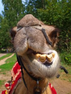 Free The Head Of A Young Camel Stock Photo - 20445780