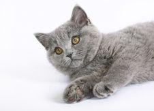 Free British Cat On White Stock Image - 20446041