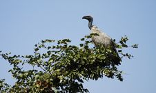 Free Vulture Stare Stock Image - 20446221