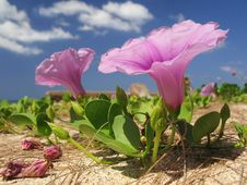 Stunning Pink Flower On The Beach Stock Images