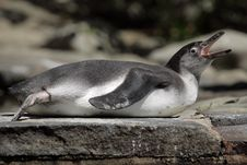 Free Humboldt Penguin Stock Photography - 20446432