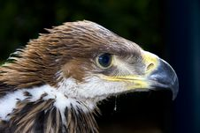 Young Imperial Eagle (Aquila Heliaca) Royalty Free Stock Photography