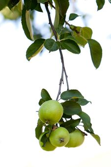 Free Green Apples In The Garden Stock Photography - 20446592