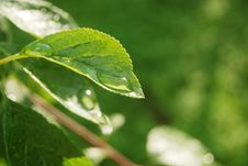 Green Leaf With Water Drop Royalty Free Stock Photography