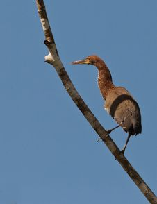 Free Rufescent Tiger Heron Perching On Branch Royalty Free Stock Photography - 20446927