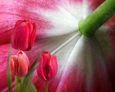 Free Tulip Fantasy Stock Photo - 20447090