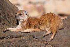 Free Lying Yellow Mongoose Royalty Free Stock Images - 20447469