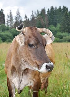 Free The Brown Cow Royalty Free Stock Images - 20447709