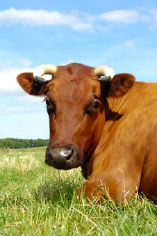 Free Cow Face Stock Image - 20447821