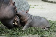 Free Hippo Family Royalty Free Stock Photos - 20448108