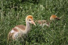 Free Red-crowned Crane Juvenile Stock Image - 20448701