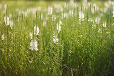 Free White Lupine Royalty Free Stock Photo - 20449195
